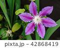 花 クレマチス お花の写真 42868419
