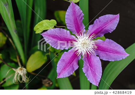 Pink Clematis in Full Bloom 42868419