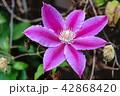 花 クレマチス お花の写真 42868420