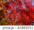 秋の色に染まったモミジ 42869251