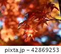 秋の眩い陽射しと紅葉 42869253