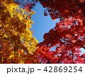 秋の青空を囲む紅葉 42869254
