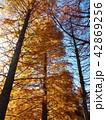 秋の色に染まったメタセコイヤの木立 42869256