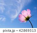 青空 コスモス ピンクの写真 42869313