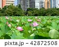 不忍池 蓮 蓮の花の写真 42872508