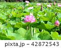 蓮 花 蓮の花の写真 42872543