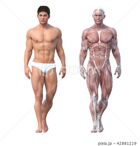 男性 解剖 筋肉 3DCG イラスト素材 42881219