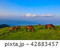 都井岬 御崎馬 野生馬の写真 42883457