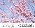 梅 紅梅 花の写真 42883861