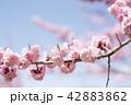 梅 紅梅 花の写真 42883862