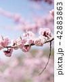 梅 紅梅 花の写真 42883863