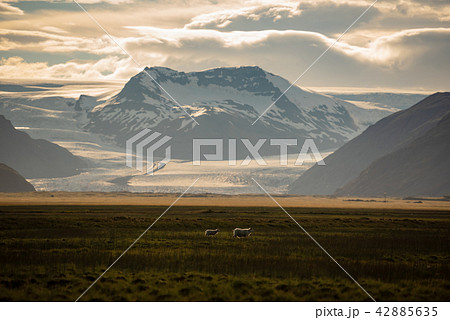 sheep in a field and Vatnajokull glacier Iceland 42885635