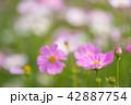 植物 花 コスモスの写真 42887754