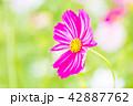 植物 花 コスモスの写真 42887762