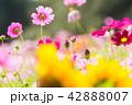 植物 花 コスモスの写真 42888007