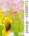 植物 花 開花の写真 42888572