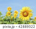 ひまわり 向日葵 夏の写真 42889322