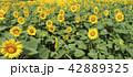ひまわり 向日葵 夏の写真 42889325