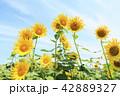 ひまわり 向日葵 夏の写真 42889327