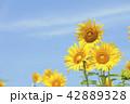 ひまわり 向日葵 夏の写真 42889328