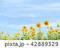 ひまわり 向日葵 夏の写真 42889329