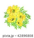 福寿草 42896808