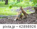 キタキツネ キツネ 動物の写真 42898926