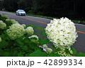 紫陽花 42899334