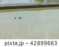 田植え カモ 42899663