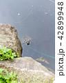 池に浮かぶカメ 42899948