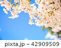 さくら サクラ 桜の写真 42909509