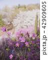 つつじ ツツジ お花の写真 42909605