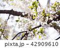 さくら サクラ 桜の写真 42909610