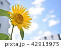 向日葵と青空 42913975