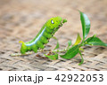 Closeup the Big green worm on tree 42922053