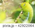 Closeup the Big green worm on tree 42922064