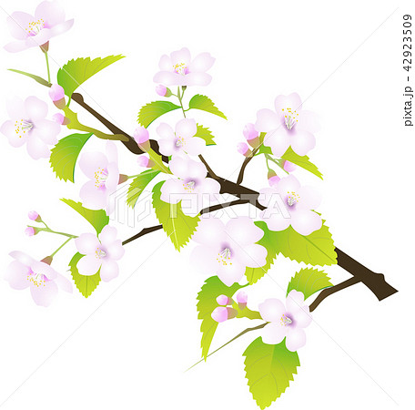さくらの花リアルタイプ (ベクターイラスト) 42923509