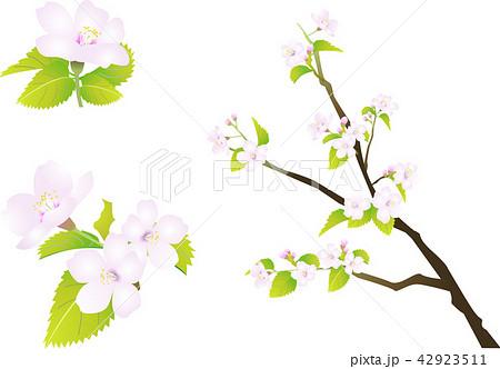 さくらの花リアルタイプ ベクターイラストのイラスト素材 42923511