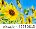 【神奈川県】ひまわり 42930813