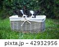 こいぬ 仔犬 子犬の写真 42932956