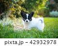 こいぬ 仔犬 子犬の写真 42932978