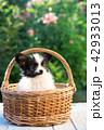 こいぬ 仔犬 子犬の写真 42933013