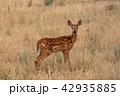 動物 しか シカの写真 42935885