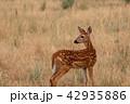 動物 しか シカの写真 42935886