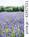 ラベンダー ラベンダー畑 花畑の写真 42937521