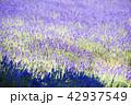 ラベンダー畑(札幌 幌見峠) 42937549