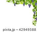 ぶどう ブドウ 葡萄のイラスト 42949388