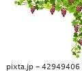 ぶどう ブドウ 葡萄のイラスト 42949406