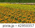 マリーゴールド 花畑 ファーム富田の写真 42950357
