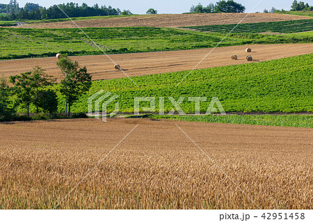 上富良野の麦畑 麦ロール 42951458